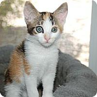 Adopt A Pet :: Calliecat - Borrego Springs, CA