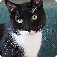 Domestic Shorthair Cat for adoption in Buhl, Idaho - Elliott