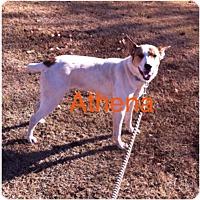 Adopt A Pet :: Athena *Adopted - Tulsa, OK