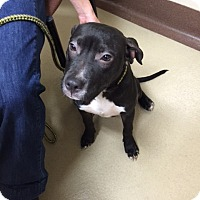 Adopt A Pet :: Samantha - San Pedro, CA