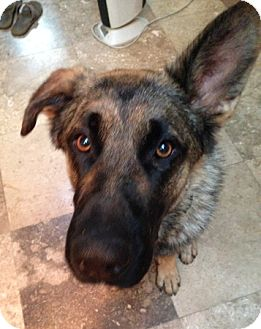 German Shepherd Dog Dog for adoption in Modesto, California - Astro