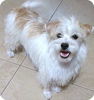 wyatt adopted dog phoenix az shih tzucairn terrier mix