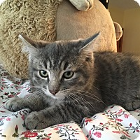 Domestic Shorthair Kitten for adoption in Cleveland, Ohio - Boris