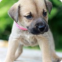 Adopt A Pet :: Daphne ADOPTION PENDING - Waldorf, MD