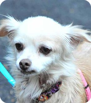 Pomeranian/Spaniel (Unknown Type) Mix Dog for adoption in Vernonia, Oregon - Nikki
