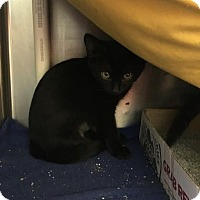 Domestic Shorthair Kitten for adoption in Kansas City, Missouri - Midnight