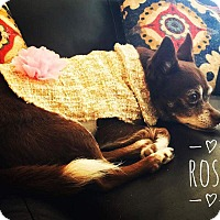 Adopt A Pet :: Rosa - Indianapolis, IN