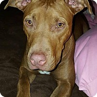 Pit Bull Terrier Mix Dog for adoption in Dayton, Ohio - Lorna