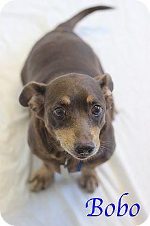 Dachshund Mix Dog for adoption in Bradenton, Florida - Bobo