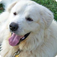 Great Pyrenees Dog for adoption in Beacon, New York - Polar / Needs Foster - new!