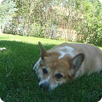 Adopt A Pet :: Haley - Lomita, CA