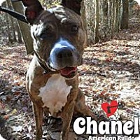 Adopt A Pet :: Chanel - Jackson, NJ