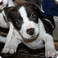 American Bulldog Mix Dog for adoption in Gainesville, Florida - Clove