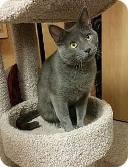 Russian Blue Cat for adoption in McKinney, Texas - Cameron