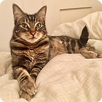 Domestic Shorthair Cat for adoption in Novato, California - Bodie formerly known as Cesar)
