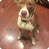 Adopt A Pet :: Dolce - Charlotte, NC