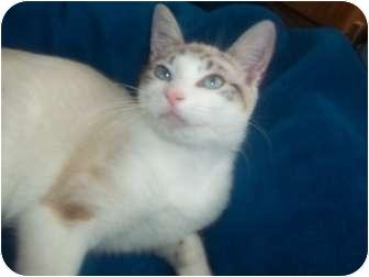 Siamese Cat Adoption New York