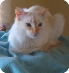 Balinese Kitten for adoption in Prescott, Arizona - Brule'