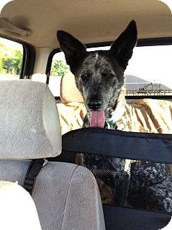 Catahoula Leopard Dog/Cattle Dog Mix Dog for adoption in Orlando, Florida - Lyla