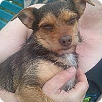 Adopt A Pet :: Little Joe - Kirkland, WA