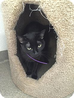 Domestic Shorthair Cat for adoption in Boca Raton, Florida - Momma