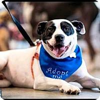 Labrador Retriever Mix Dog for adoption in Pembroke, New York - Remi