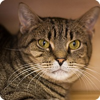 Domestic Shorthair Cat for adoption in Circleville, Ohio - Captain Hook