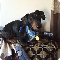 Adopt A Pet :: Sheldon - Decatur, GA