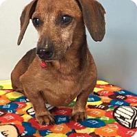 Dachshund Dog for adoption in Weston, Florida - Skrek