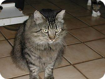 Maine Coon Cat for adoption in Bonita Springs, Florida - King