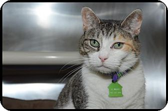 Domestic Shorthair Cat for adoption in Brick, New Jersey - Selma