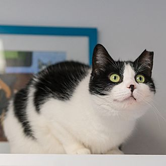 Domestic Shorthair Cat for adoption in Houston, Texas - Lilah