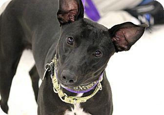 Whippet Mix Dog for adoption in Lansing, Michigan - Trisha