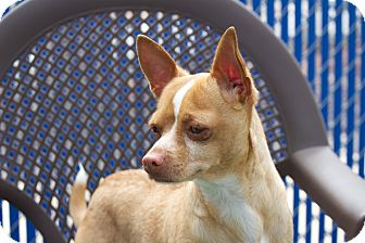 Chihuahua Mix Dog for adoption in Chula Vista, California - Charger