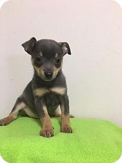 Chihuahua/Miniature Pinscher Mix Puppy for adoption in Baton Rouge, Louisiana - Duke