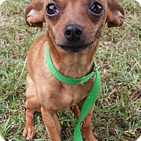 Chihuahua Mix Dog for adoption in Snow Hill, North Carolina - Tinkerbell