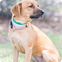 Black Mouth Cur Mix Dog for adoption in Santa Fe, Texas - Bailey