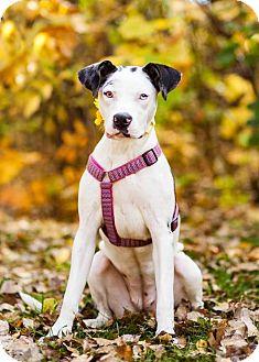 Catahoula Leopard Dog/Dalmatian Mix Dog for adoption in Shakopee, Minnesota - Zoe D3298