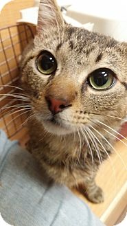Domestic Shorthair Cat for adoption in Chicago, Illinois - Oliver Toast