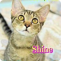 Domestic Shorthair Cat for adoption in Sarasota, Florida - Shine
