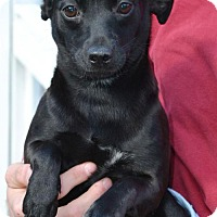 Adopt A Pet :: Pepper - Washington, DC