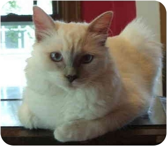 Ragdoll Kitten for adoption in Keizer, Oregon - Lola in Portland