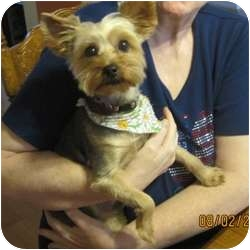 Yorkie, Yorkshire Terrier Dog for adoption in Normal, Illinois - Yoshie