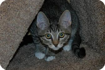 Domestic Shorthair Kitten for adoption in Houston, Texas - Winter