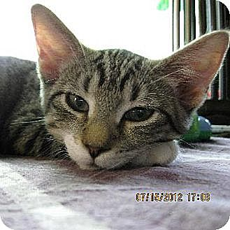 Domestic Shorthair Cat for adoption in Fishers, Indiana - Dahlia Dee