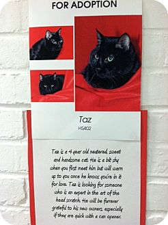 American Shorthair Cat for adoption in Whitestone, New York - Taz