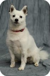 American Eskimo Dog Mix Dog for adoption in Saskatoon, Saskatchewan - Pixie