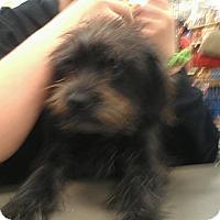 Adopt A Pet :: Niko - wirey cutie - Phoenix, AZ
