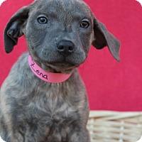 Adopt A Pet :: Zolay - Waldorf, MD