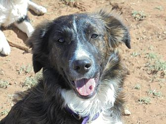 Border Collie/Australian Shepherd Mix Dog for adoption in Anton, Texas - Jordan